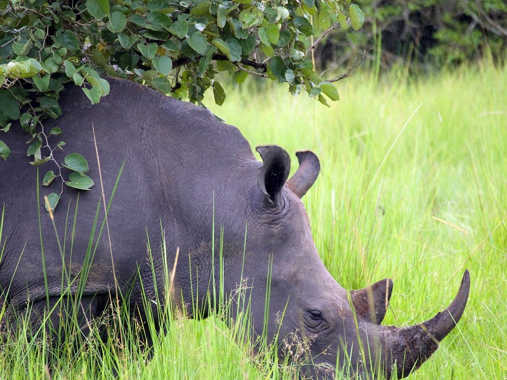 white_rhino_close_up_in_grass